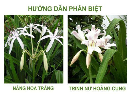 Phân biệt náng hoa trắng và trinh nữ hoàng cung